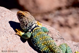 This is a lizard. His name is Spot.